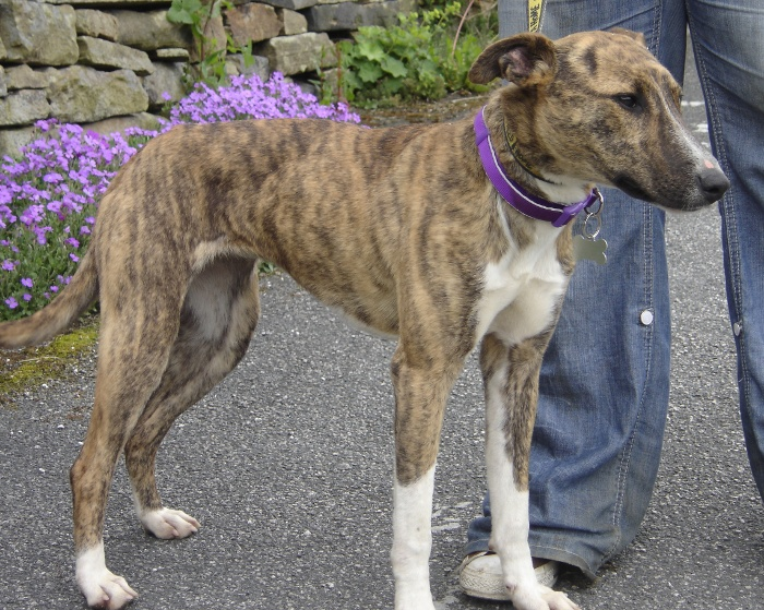 Lurcher Link :: View topic - PIXIE LITTLE - tiny Whippet x ...